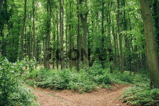 Tranquil scene in the deep green beech forest with a path trail outdoors. Fork road and junction concept.
