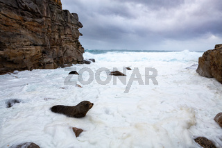 Fur seal comes ashore among wild seas big swells