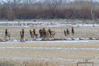 Wapiti  in Bosque del Apache National Wildlife Refuge, New Mexico USA