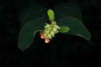Nahaufnahme eines Schneebeerenzweiges mit grünen Früchten