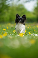 Running papillon dog in a spring flower meadow