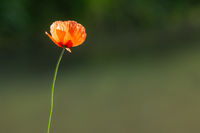 Red poppy flower on blurred bokeh background. Place for your text.