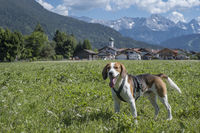 Beagle mit Dorf Farchant