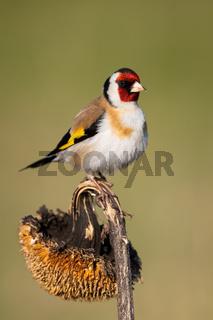 European goldfinch sitting on sunflower in autumn.