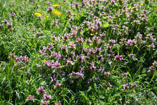 Lamium purpureum, Rote Taubnessel, Red deadnettle