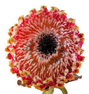 Macro of an isolated king protea blossom
