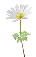 Lovely Anemone (Daisy, Windröschen) isolated on white background.
