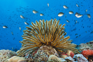 Haarstern am Riff, Papua Neuguinea