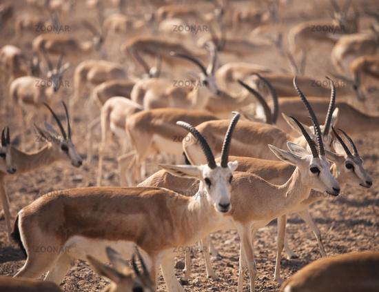 Gazelles. Arabian Wildlife in natural habitat