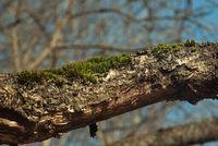 Moss auf einem Baum.