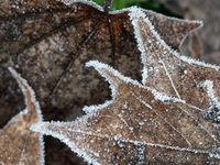 Abstraktes Muster aus gefrorenen Ahornblättern
