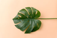 monstera deliciosa leaf or swiss cheese plant