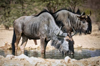 Trinkende Streifengnus, Kgalagadi-Transfrontier-Nationalpark, Südafrika, (Connochaetes taurinus) | drinking blue wildebeest, Kgalagadi Transfrontier National Park, South Africa, (Connochaetes taurinus)