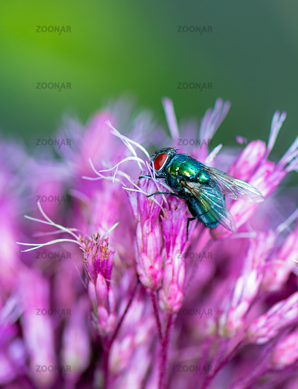 Macro of a fly on a pink flower blossom