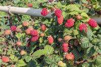 Dutch allotment garden with raspberries in springtime