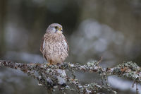 Turmfalke - Maennchen, Falco tinnunculus, common kestrel - male