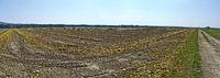 Reife Ölkürbisse und Schalen auf einem Feld