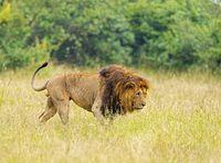 Lion stalking closeup, Maasai Mara National Reserve, Kenya, Africa