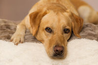Labrador retriever dog lying on a blanket