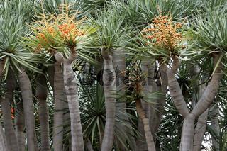 Kararischer Drachenbaum mit Fruchtstand