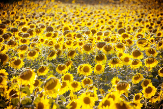 Sunflower field during bright summer day