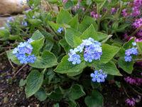 Kaukasus-Vergissmeinnicht (Brunnera macrophylla) mit blauem Blütenstand