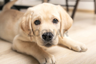 funny puppy pokes nose into camera. cute little six week old retriever dog looking in camera