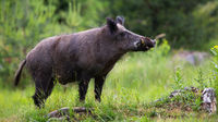 Proud wild boar with white tusks sniffing on green glade in summer nature