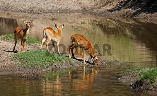 Pukus am Ufer im South Luangwa Nationalpark, Sambia; Kobus vardonii; pukus, South Luangwa Nationalpark, Zambia