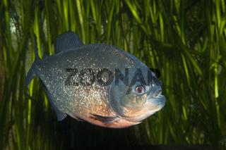 Roter Piranha, Brasilien
