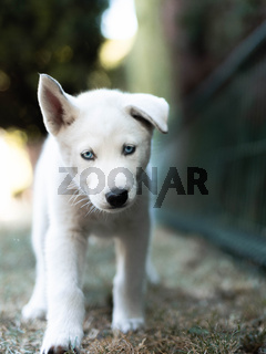 White Siberian husky portrait looking at camera