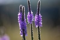 A close up of a purple Gayfeather flower in the wild of Nebraska