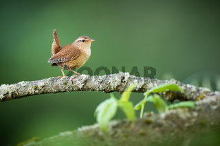 Eurasian wren walking on tree in summertime nature