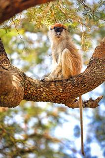 Weißnasen-Husarenaffe im Murchison Falls Nationalpark Uganda (Erythrocebus patas pyrrhonotus) | Patas Monkey, Murchison Falls National Park Uganda (Erythrocebus patas pyrrhonotus)