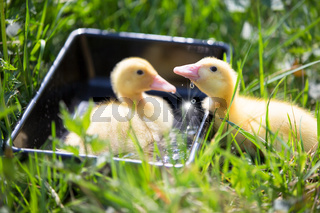 Two yellow ducklings on a background of green grass.
