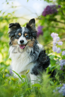 Miniatur australian shepherd dog under a lilac