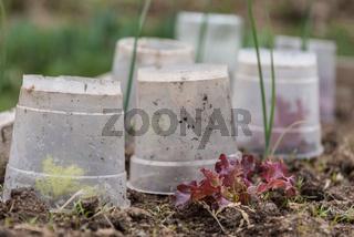 Blattsalat und Lollo rosso mit Frostschutz - Nahaufnahme
