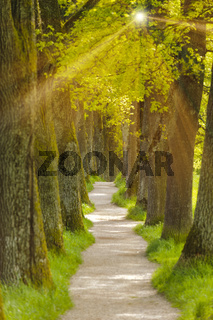 oak tree alley with footpath in Bavaria