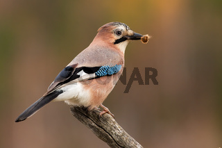 Eurasian jay sitting on branch in spring nature with catch in beak.