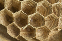 European Wasp Eggs