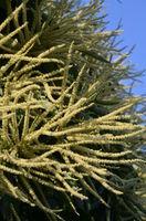 Esskastanie (Castanea sativa)