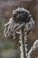 Verwelkte Blüte von Echinacea mit Eiskristallen