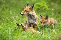Two cute cubs of red fox playing with her mother among the wildflowers in spring