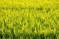 golden ripe rice farm