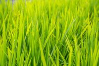 Close up of a growing rice