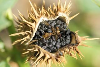 Datura stramonium, Wilder Stechapfel, Jimson weed