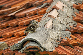 Alert little owl sitting on roof with red tiles on countryside.