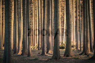 Calming dark forest scene with dark and creepy looking trees, sun glowing from side.