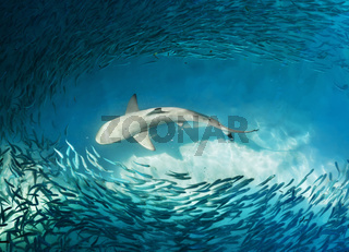 Shark and small fishes in ocean