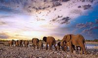 Elefantenherde am Wasserloch, Etosha-Nationalpark, Namibia, (Loxodonta africana) | elephants at a waterhole, Etosha National Park, Namibia, (Loxodonta africana)